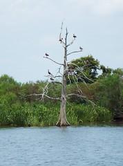 5 River Delta Alabama (137) (Stonehenge 68) Tags: 5riversdelta mobile delta wildlife alligator duck pelican water waterhyacinth hemlock snowyegret alabama