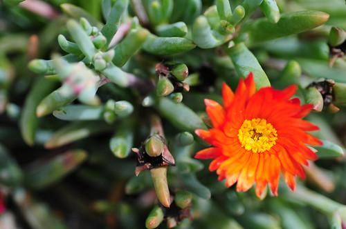 [Tenerife V] flower details