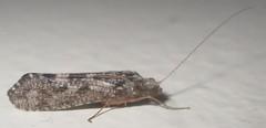 IMG_2388 Caddisfly? (John Steedman) Tags: uk unitedkingdom england   greatbritain grandebretagne grossbritannien      insect durham caddisfly