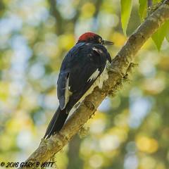 Acorn Woodpecker (orencobirder) Tags: birds largebirds flickrexport woodpeckers
