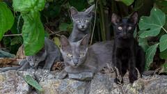 Cats (KevTalec) Tags: cat wild nature greece corfu family curiosity black grey agiosstefanos peloponnisosdytikielladakeio grèce peloponnisosdytikielladakeionio gr