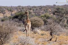 Giraffe (dieLeuchtturms) Tags: 3x2 afrika antilopen antilopinae artiodactyla bovidae dornbuschsavanne dornstrauchsavanne ellipsenwasserbock giraffacamelopardalis giraffe giraffenartige giraffidae horntrger kobus kobusellipsiprymnus mountetjo namibia otjozondjupa paarhufer pecora ruminantia stirnwaffentrger sugetiere vertebrata vertebrates wasserbcke wiederkuer wirbeltiere mammals