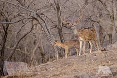 White Spotted Deer (fascinationwildlife) Tags: animal mammal wild wildlife nature natur white spotted deer axis hirsch reh bock buck stag antler geweih summer forest ranthambhore national park asia