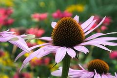 Sonnenhut (Elbmaedchen) Tags: sonnenhut blte echinacea blume garten ros flower garden fleur sommer sommerblumen staude farbig colours natur nature