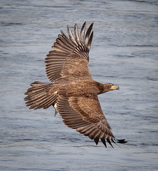 Juvenile Eagle (tresed47) Tags: 2015 201510oct 20151021conowingobirds birds canon7d conowingo content eagle folder maryland peterscamera petersphotos places takenby us ngc npc