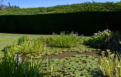 A Touch of Blue (Jocey K) Tags: newzealand bankspeninsula southisland motukarara irisgarden waterlilies lilypond plants iris hedge sky watar pond