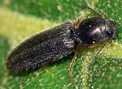 5.7 mm click beetle (ophis) Tags: coleoptera polyphaga elateriformia elateroidea elateridae dendrometrinae limonius limoniusbasilaris clickbeetle