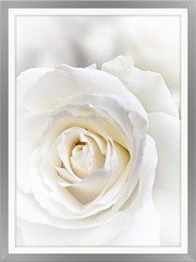 The simple yet eloquent Rose (frankhimself) Tags: fauna flora beauty creamywhite flowers roses travel inexplore iexplore explore nationalgeographic nature beautiful single simple white rose