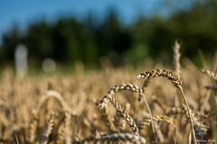 DSC_1130 (Marlon Fried) Tags: macro makro bokeh getreide cereals weizen wheat grain crops field