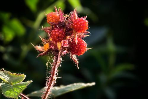 RubusPhoenicolasius05