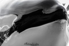 Face To Face (orcamel30) Tags: orque orca orcinus epaulard killer whale wikie marineland biot antibes soigneur comportement behavior rostre nikon d7100 55300 love cute sweet
