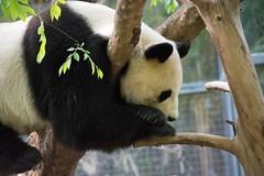 20160313 161302 (ec 92009) Tags: animal bear ca california flowers mammal panda sandiego usa zoo