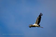Stork (99baggett) Tags: audubon bird birdsanctuary birds egrets herons jmb1950 mbaggettphotography nature silverbluff silverbluffauduboncenter storks wildlife woodstorks