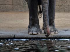 droplet (Gabi Wi) Tags: thirsty elephant zoo water waterdrops pachyderm drinking heat durstig elefant wasser wassertropfen dickhuter trinken hitze rssel sommersprossen