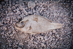 Fish of the Salton Sea (designedbymatty) Tags: 2016 canon saltonsea familyadventures thermal california unitedstates us