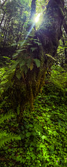 peeking sun (amulonphotography) Tags: green forest woods hiking trail lush columbiarivergiorge