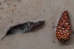 vivante (www.danbouteiller.com) Tags: macro pine canon de leaf pin cone 100mm 5d canon5d pinecone feuilles pomme feuille 5dmk2
