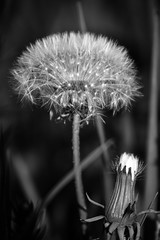 Make a Wish (mgstanton) Tags: flower dandelion wish makeawish