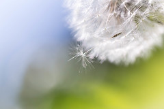DandelionMagic1 (Cindee Snider Re) Tags: white nature outdoors spring pastel dandelion magical dandelionseed thehighcalling highcalling highcallingfocus thehighcallingfocus