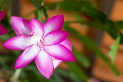 May flower (Hugo Alesse) Tags: flower brasil goiás aparecidadegoiânia flornikond5300cerradogoiâniamay