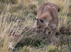 Puma looking for hidden guanaco carcass (Paul Cottis) Tags: chile patagonia mammal 7 bigcat april puma cougar mountainlion mrsc 2015 paulcottis