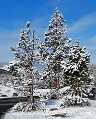 Three Flocked Tress, Yosemite 5-20-15 (inkknife_2000 (6.5 million views +)) Tags: california ca usa snow mountains 120 creek forest landscapes rocks snowstorm hwy yosemitenationalpark snowscene waterreflections snowontrees mountaincreek calmwater tiogapassroad snowonmountains easternsierranevadas oldgrowthtrees dgrahamphoto flockedpinetrees