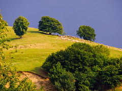 The flock (Raoul Pop) Tags: flock hilltop romania summer transilvania județulsibiu ro animal