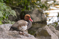 waiting for his lady... (Florian Grundstein) Tags: nature duck bird water beauty handsome beautiful mister lady ente erpel natur wasser bokeh zoom sigma 150600 contemporary nikon dx vogel grundstein florian