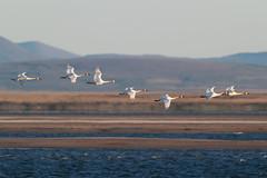 Tundra Swan   mindre sngsvan   Cygnus columbianus (Daniel.Pettersson) Tags: usa alaska tundraswan cygnuscolumbianus mindresngsvan alaskatrip2016