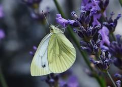 Weissling (Hugo von Schreck) Tags: macro butterfly insect outdoor falter makro insekt schmetterling weissling tamron28300mmf3563divcpzda010 canoneos5dsr hugovonschreck