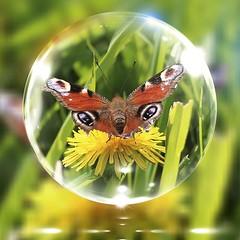 Pfauenauge (magic_lightblue) Tags: macro nature sommer natur schmetterling pfauenauge makrofotografie
