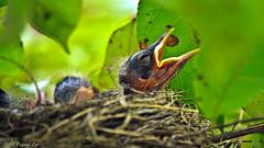 American Robin's Nest (Bob's Digital Eye) Tags: americanrobin bird bobsdigitaleye canon canonefs55250mmf456isstm closeup fauna flicker flickr nature nestling robin t3i wildlife animal outdoor