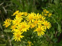 Ragwort (Geoff 1947) Tags: vulgaris seneciojacobaea kinsoncommonjacobaea