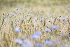ghosts of summers past (Rising Damp) Tags: bokeh field harvest cornflowers