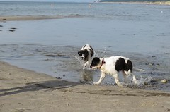 Zip and his sister Daisy on the beach (Bjrn Steiner) Tags: zip his sister daisy beach landseer