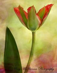 Spring Up (Mary McIlvenna Photography) Tags: floralart macro flora tulipviridiflora tulip texture flower