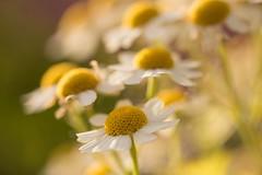 Instant doré - Golden moment (Gisou68Fr) Tags: macro fleurs garden bokeh garten aureum camomille tanacetumparthenium jarden efs60mmf28macrousm canoneos650d camomilledorée