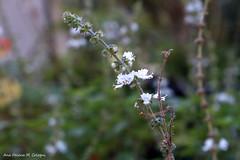 32 (anacologni) Tags: nature flower basil basilflower winter natureza flores manjerico inverno garden jardim