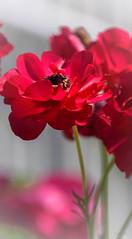Pink Red (Jocey K) Tags: newzealand spring bankspeninsula akaroa flowers ranunculus