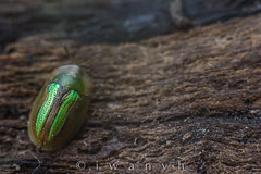 Cassida vittata. (iwanvh) Tags: art nature artist photographer 48 biodiversity iwan photographe naturalist naturaliste lozre environement vittata cassida iwanvh vanhoogmoed wwwiwanvhcom