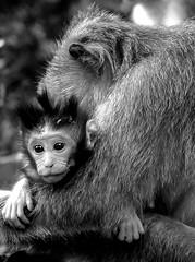 motherly love (bass kecht) Tags: apes monkey ape bali indonesia ubud pura dalem agung padangtegal forest baby bassknecht