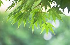 Green Leaves Hang (Orbmiser) Tags: 55200vr d90 nikon oregon portland summmer tree green leaf leaves