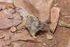 Below the rim (Shyha) Tags: arizona canon squirrel grand canyon rim 6d