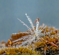 Morning Macro. (Omygodtom) Tags: mist abstract flower macro art nature outdoors moss nikon flickr dof natural bokeh pov dew wildflower raindrop tamron90mm d7100 macromonday