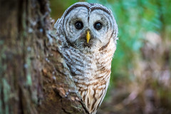 Peek-a-Hoo! (mLichy911) Tags: green barred owl peakaboo cute funny raptor pnw wa seattle nature wildlife portrait igotmyeyeonyou stare summer woods canon 7dmarkii 500f4 bird wild