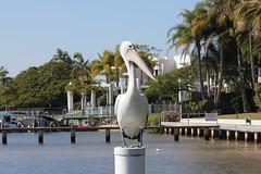 Pigeon toed (Gillian Everett) Tags: pelican pelecanus conspicillatus noosa river