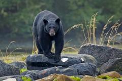 Big guy (rs) (Blingsister) Tags: americanblackbear blackbear bear maleblackbear blingsister melanieleesonwildlifephotography canon7dmarkii canonef100400mmf4556lisiiusm northernvancouverisland
