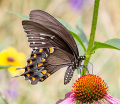Spicebush Swallowtail (tresed47) Tags: 2016 201607jul 20160715chestercountymisc butterflies canon7d chestercounty content folder insects pennsylvania peterscamera petersphotos places spicebushswallowtail springtonmanor swallowtail takenby us