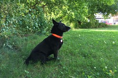 Swivel (Adrian Cooke) Tags: genie listening sound green grass black ear pets dogs summer central upstate new york