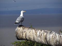 23_07_2016_1184 (andysuttonphotography) Tags: herring gull larus argentatus steep holm bird island nature wildlife sea bristol channel cannon gun